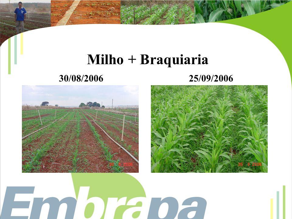 Milho + Braquiaria 30/08/200625/09/2006