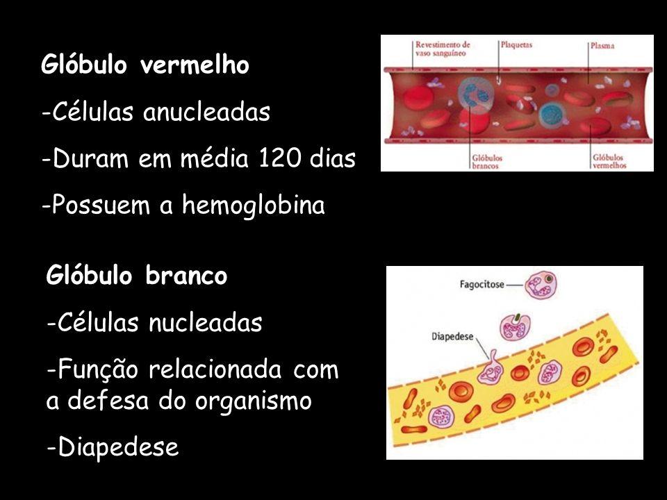 Glóbulo vermelho -Células anucleadas -Duram em média 120 dias -Possuem a hemoglobina Glóbulo branco -Células nucleadas -Função relacionada com a defes