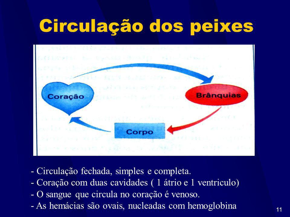 10 Dipnóicos ou Pulmonados Bexiga natatória é um pulmão. Exemplo: piramboia Obs: Quando os rios secam, podem sobreviver longos períodos fora da água r