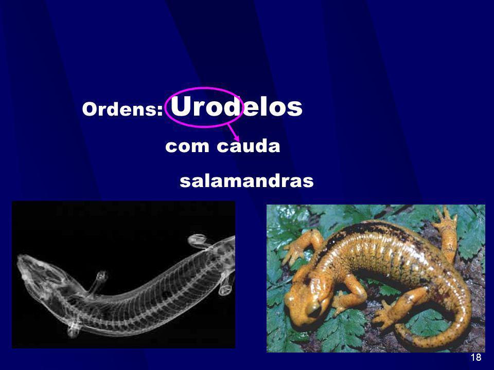 17 Ordens: Ápodos sem patas cobra-cega
