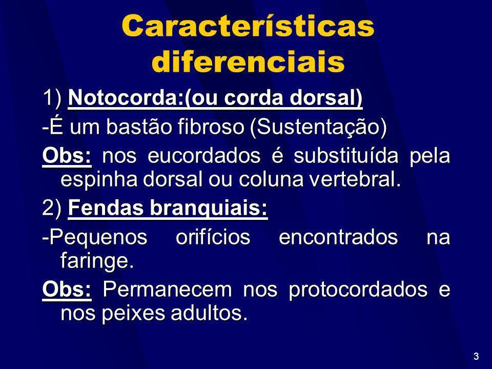 3 Características diferenciais 1) Notocorda:(ou corda dorsal) -É um bastão fibroso (Sustentação) Obs: nos eucordados é substituída pela espinha dorsal ou coluna vertebral.