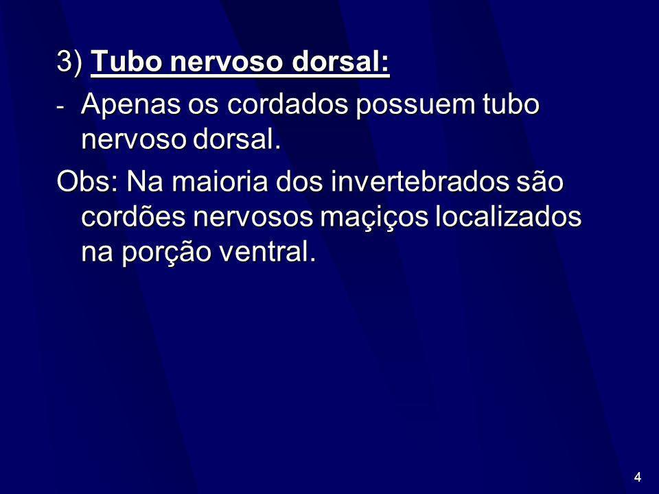 4 3) Tubo nervoso dorsal: - Apenas os cordados possuem tubo nervoso dorsal.