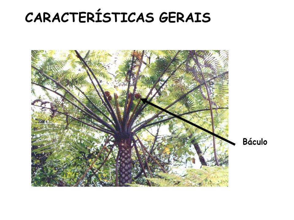CARACTERÍSTICAS GERAIS Báculo