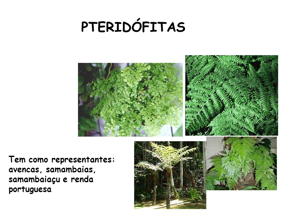 Primeiros vegetais vasculares - Maior crescimento da planta; Primeiros vegetais cormófitos (raiz, caule e folha); Primeiros vegetais a conquistarem definitivamente o ambiente terrestre; Ainda dependem da água para a fecundação Esporófito é mais evidente CARACTERÍSTICAS GERAIS