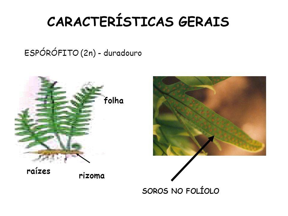 SOROS NO FOLÍOLO CARACTERÍSTICAS GERAIS ESPÓRÓFITO (2n) - duradouro rizoma folha raízes