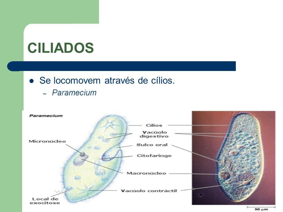 CILIADOS Se locomovem através de cílios. – Paramecium