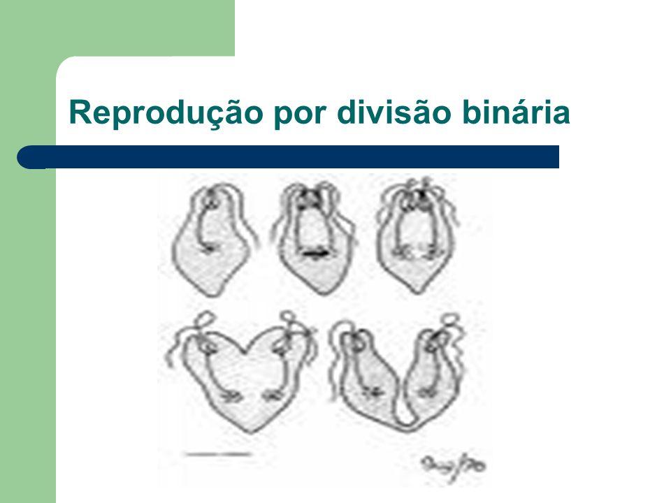 Reprodução por divisão binária