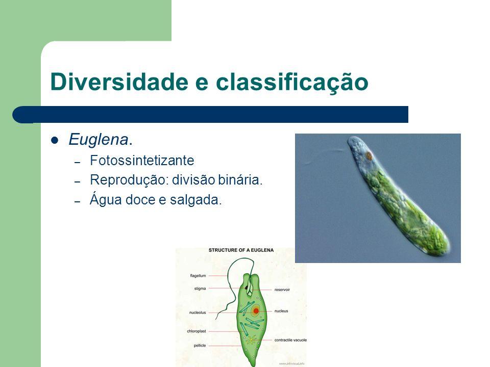 Diversidade e classificação Euglena. – Fotossintetizante – Reprodução: divisão binária. – Água doce e salgada.