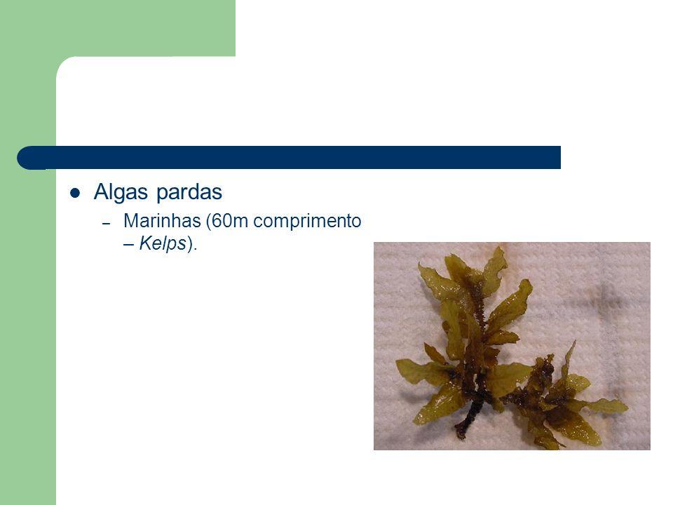 Algas pardas – Marinhas (60m comprimento – Kelps).