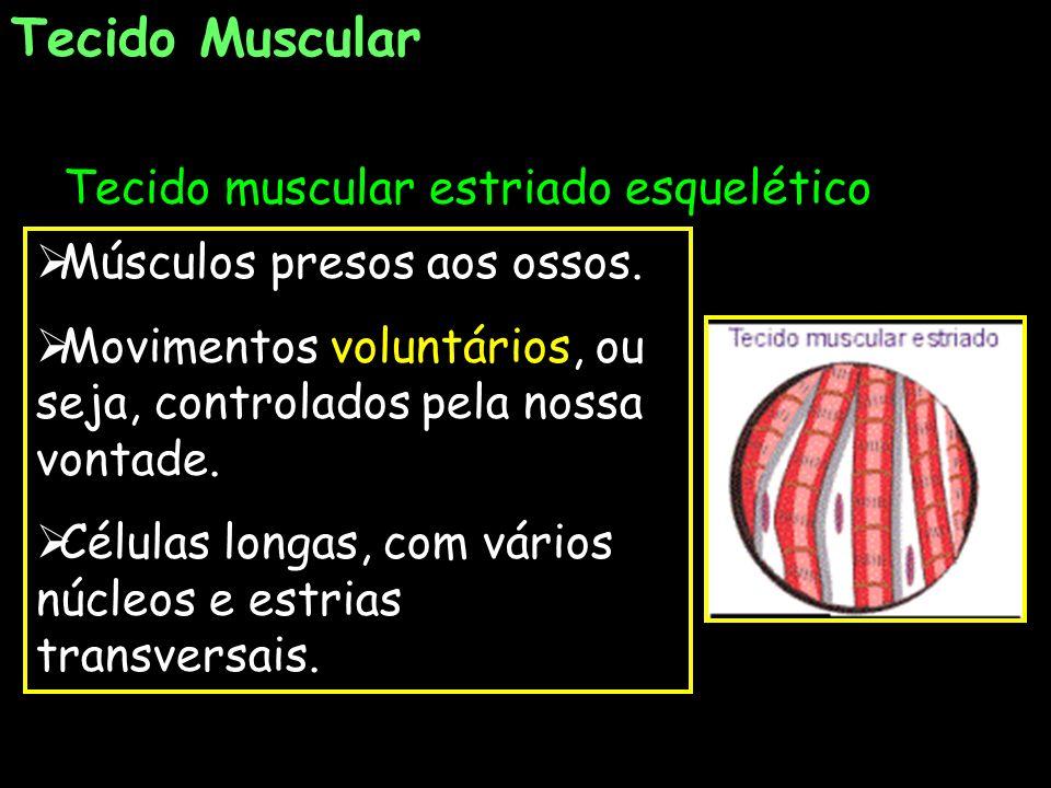 Tecido Muscular Tecido muscular estriado esquelético Músculos presos aos ossos. Movimentos voluntários, ou seja, controlados pela nossa vontade. Célul