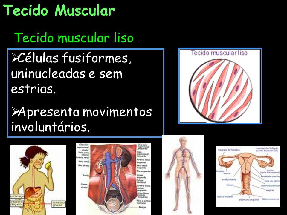 Tecido muscular liso Tecido Muscular Células fusiformes, uninucleadas e sem estrias. Apresenta movimentos involuntários.