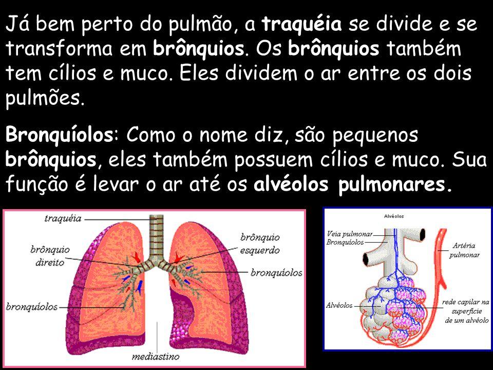 Já bem perto do pulmão, a traquéia se divide e se transforma em brônquios. Os brônquios também tem cílios e muco. Eles dividem o ar entre os dois pulm