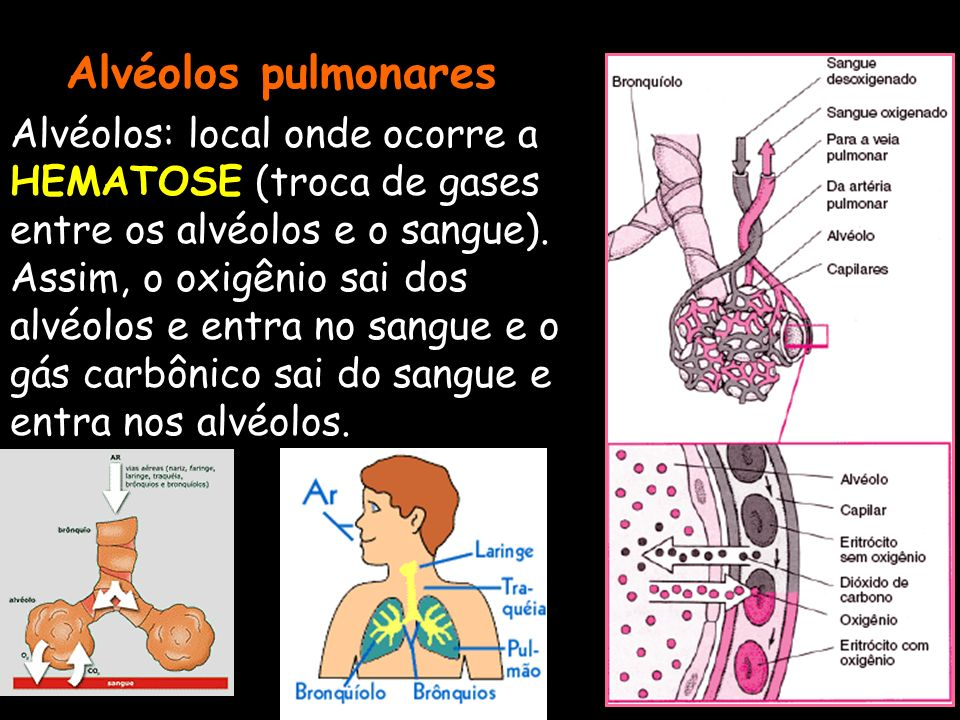 Alvéolos pulmonares Alvéolos: local onde ocorre a HEMATOSE (troca de gases entre os alvéolos e o sangue). Assim, o oxigênio sai dos alvéolos e entra n