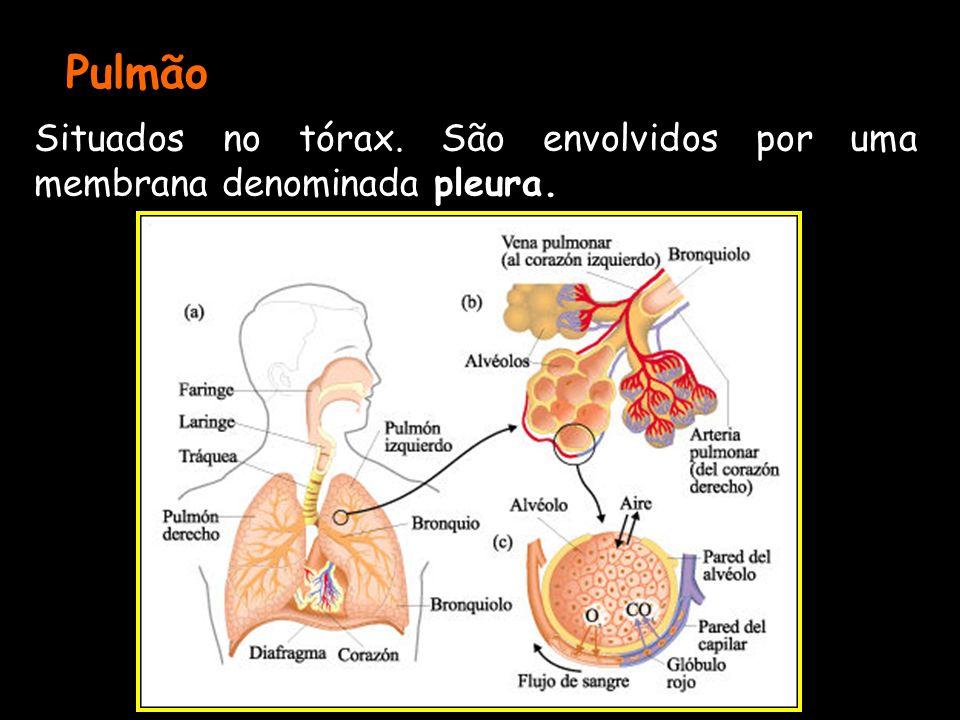 Pulmão Situados no tórax. São envolvidos por uma membrana denominada pleura.