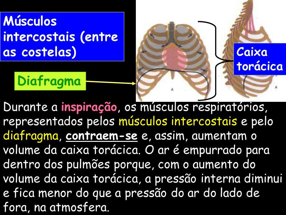 Durante a inspiração, os músculos respiratórios, representados pelos músculos intercostais e pelo diafragma, contraem-se e, assim, aumentam o volume d