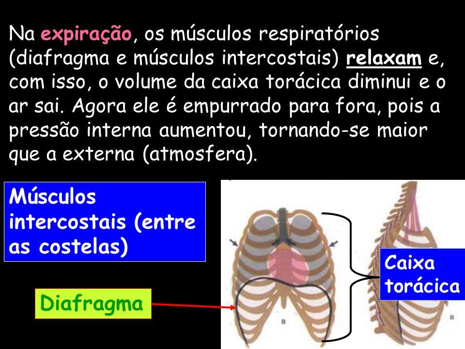 Na expiração, os músculos respiratórios (diafragma e músculos intercostais) relaxam e, com isso, o volume da caixa torácica diminui e o ar sai. Agora