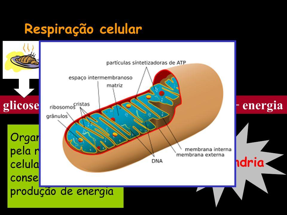 Respiração celular glicose + oxigênio gás carbônico + água + energia Ar Organela responsável pela respiração celular e, consequentemente, produção de energia Mitocôndria