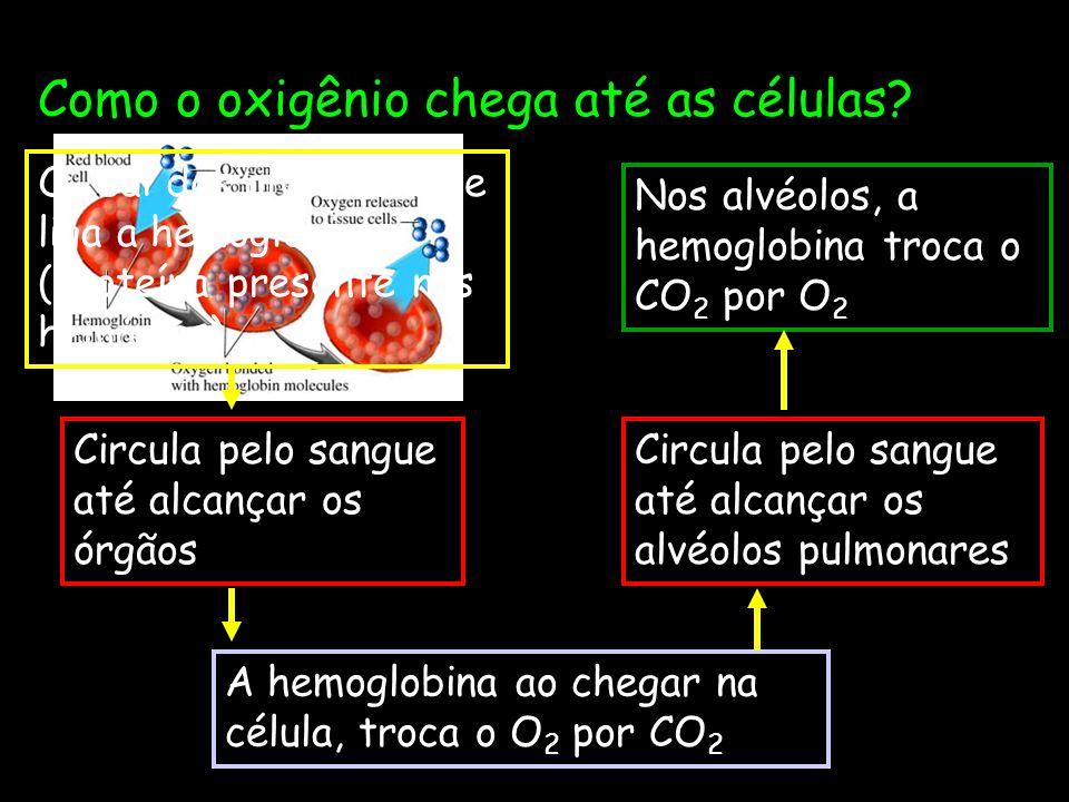 Como o oxigênio chega até as células? Nos alvéolos, a hemoglobina troca o CO 2 por O 2 O 2 sai dos alvéolos e se liga a hemoglobina (proteína presente