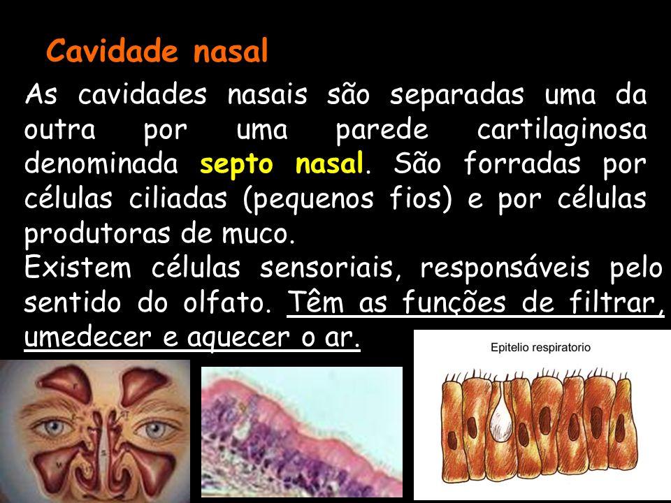 Cavidade nasal As cavidades nasais são separadas uma da outra por uma parede cartilaginosa denominada septo nasal. São forradas por células ciliadas (