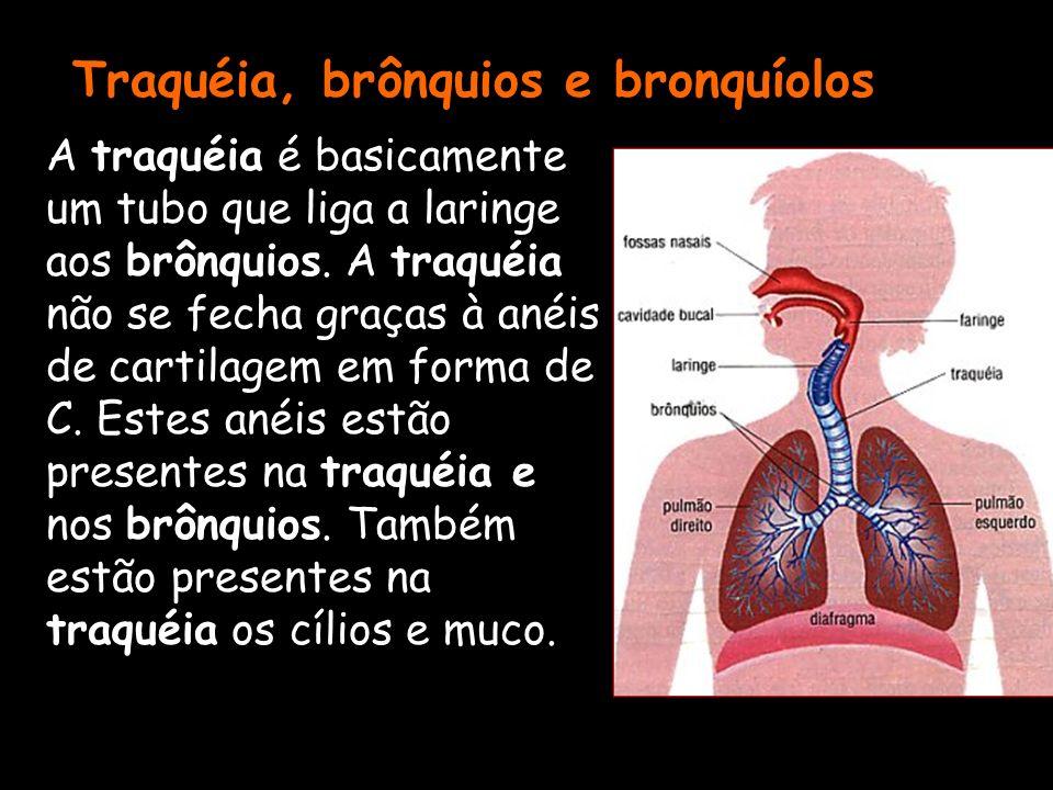 Traquéia, brônquios e bronquíolos A traquéia é basicamente um tubo que liga a laringe aos brônquios. A traquéia não se fecha graças à anéis de cartila