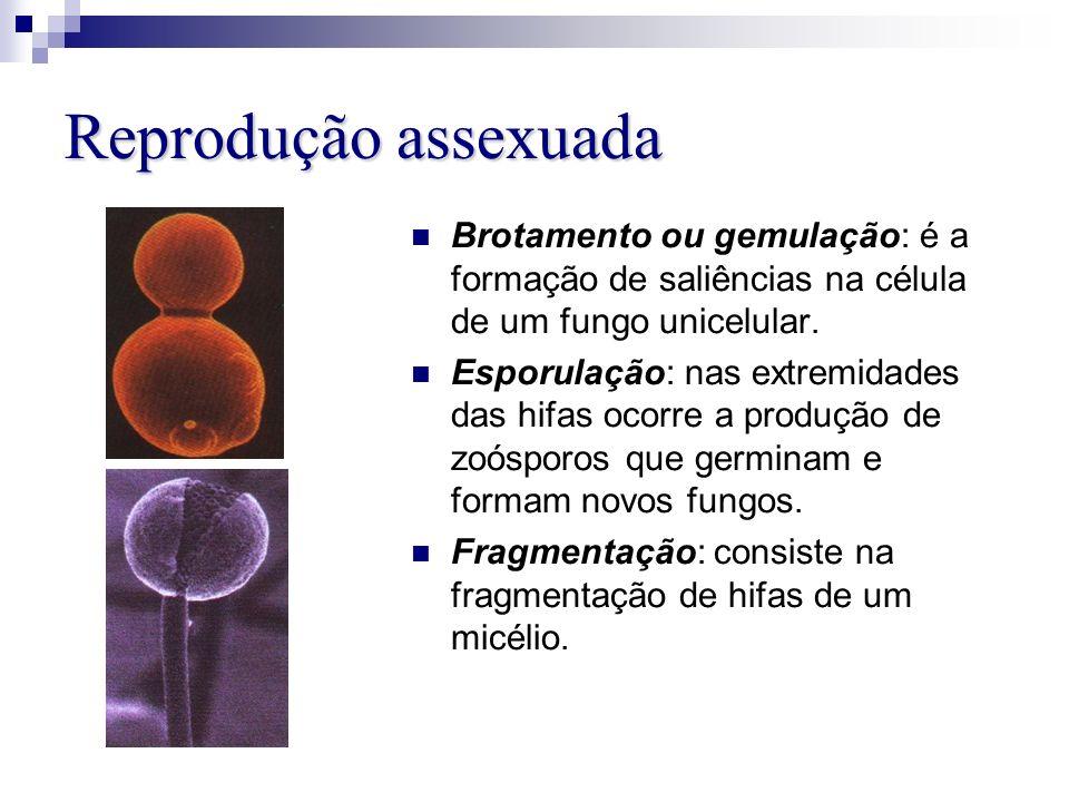 Reprodução assexuada Brotamento ou gemulação: é a formação de saliências na célula de um fungo unicelular. Esporulação: nas extremidades das hifas oco