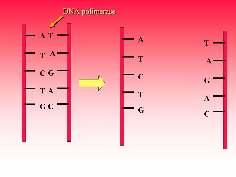 A T C T G T A G A C A T C T G T A G A C DNA polimerase