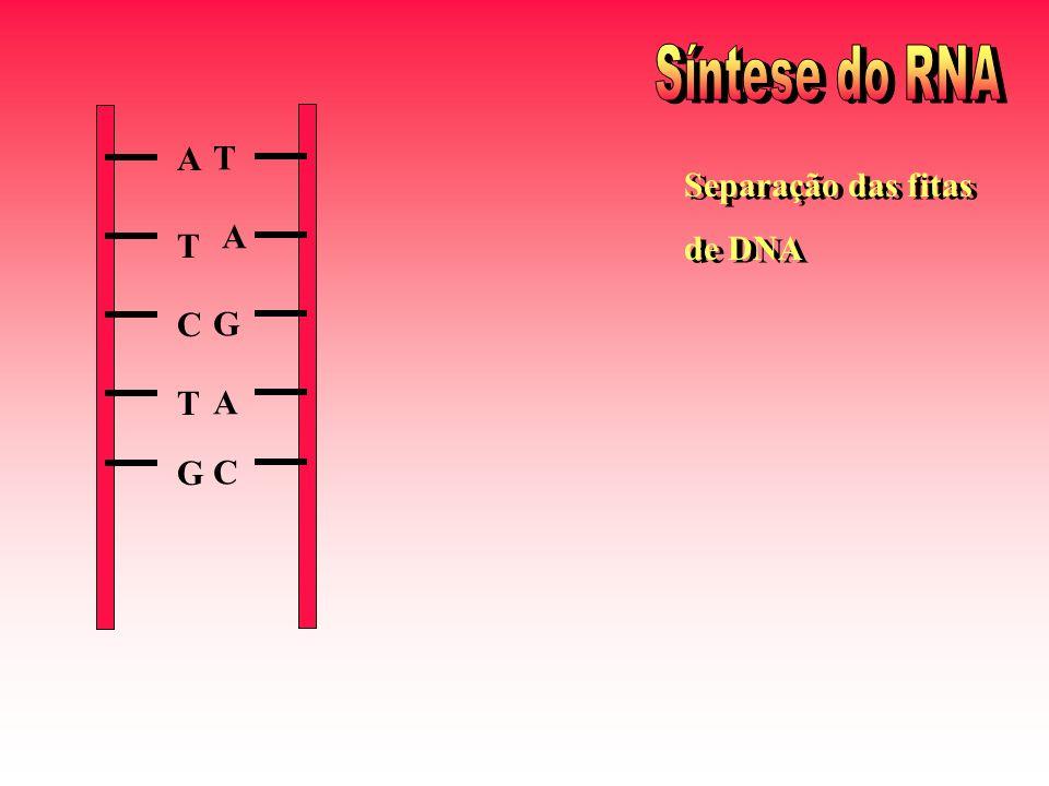 A T C T G Separação das fitas de DNA Separação das fitas de DNA T A G A C
