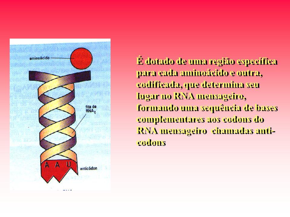 É dotado de uma região específica para cada aminoácido e outra, codificada, que determina seu lugar no RNA mensageiro, formando uma sequência de bases complementares aos codons do RNA mensageiro chamadas anti- codons