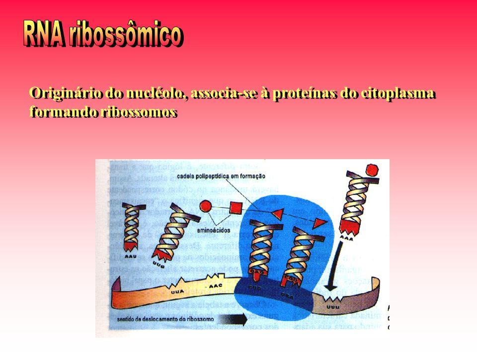 Originário do nucléolo, associa-se à proteínas do citoplasma formando ribossomos