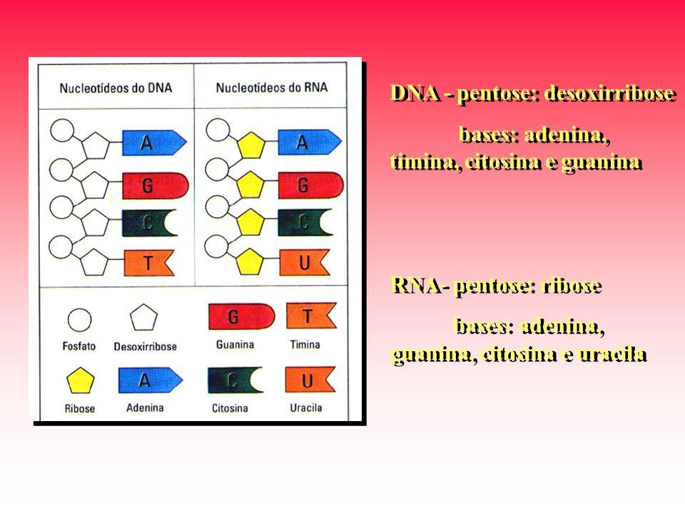 DNA - pentose: desoxirribose bases: adenina, timina, citosina e guanina RNA- pentose: ribose bases: adenina, guanina, citosina e uracila DNA - pentose: desoxirribose bases: adenina, timina, citosina e guanina RNA- pentose: ribose bases: adenina, guanina, citosina e uracila