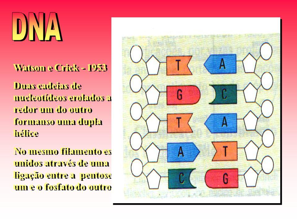 Watson e Crick - 1953 Duas cadeias de nucleotídeos erolados ao redor um do outro formanso uma dupla hélice No mesmo filamento estão unidos através de