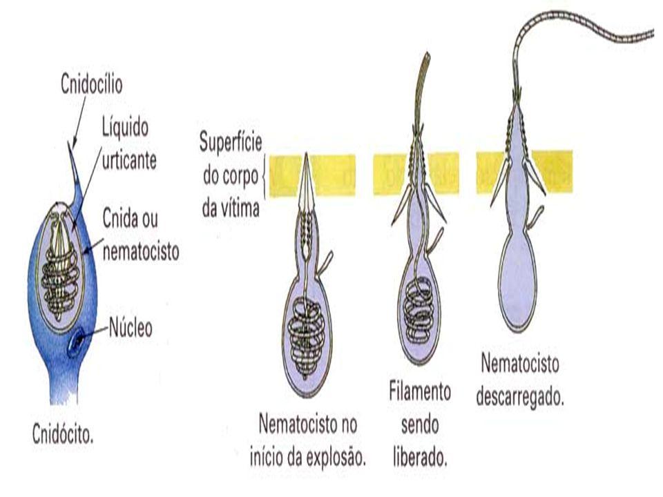 Cnidócitos ou cnidoblastos