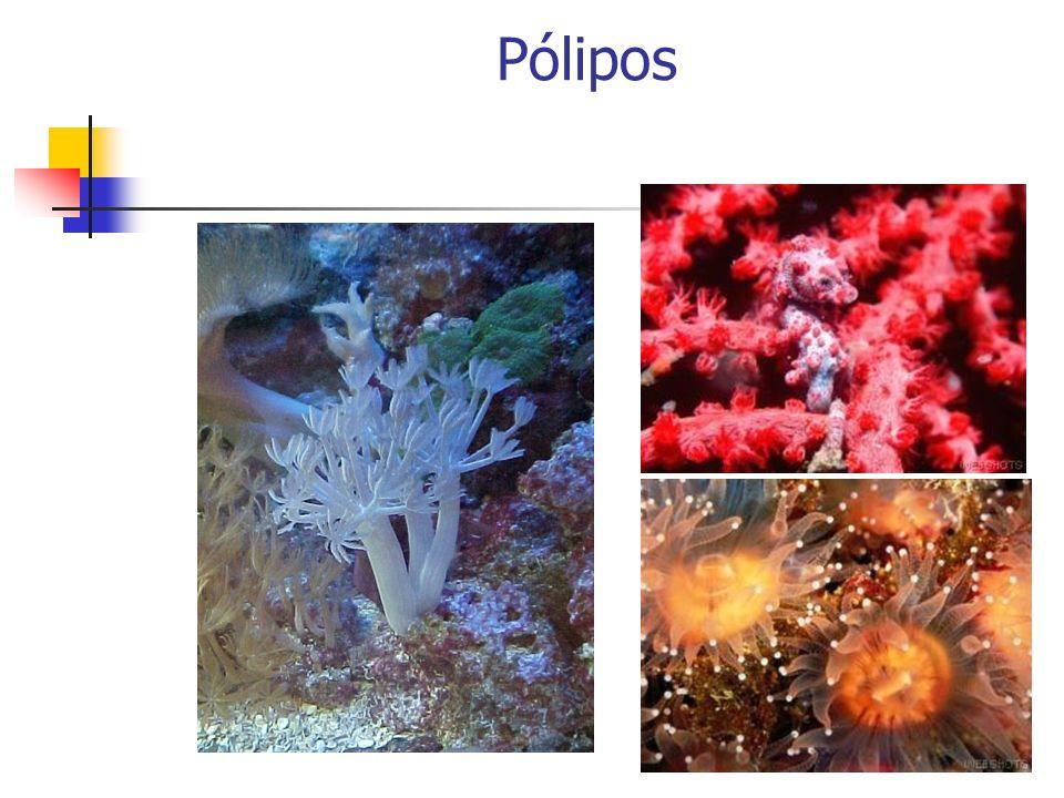 Filo Cnidaria Tipos Morfológicos (fixo)(móvel)
