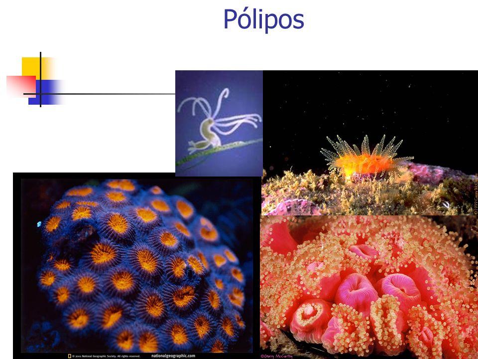 Pólipos