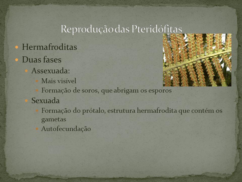 Hermafroditas Duas fases Assexuada: Mais visível Formação de soros, que abrigam os esporos Sexuada Formação do prótalo, estrutura hermafrodita que con