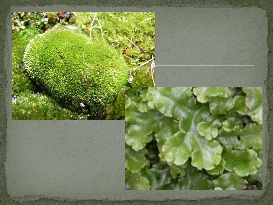 Tamanho médio Locais úmidos Vasculares (presença de tecidos condutores) Sem flores, frutos e sementes Exemplos: cavalinhas, xaxins, samambaias e avencas