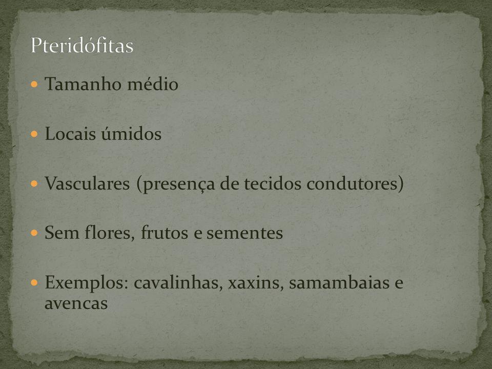 Tamanho médio Locais úmidos Vasculares (presença de tecidos condutores) Sem flores, frutos e sementes Exemplos: cavalinhas, xaxins, samambaias e avenc