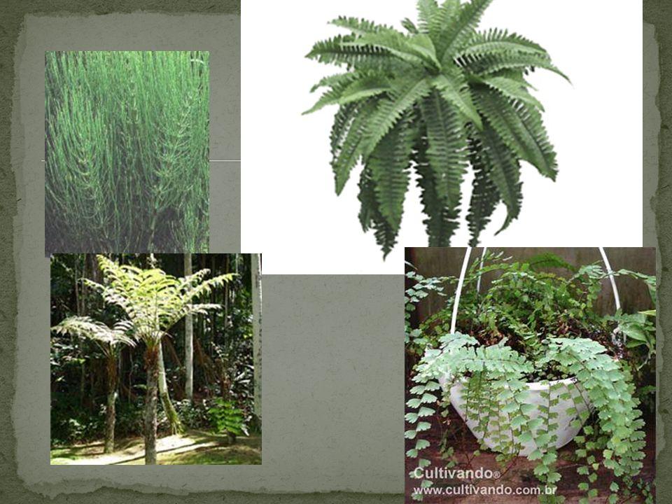 Tamanho grande Regiões frias e temperadas Vasculares Ausência de frutos (sementes nuas) Exemplos: araucárias, pinheiros e sequóias