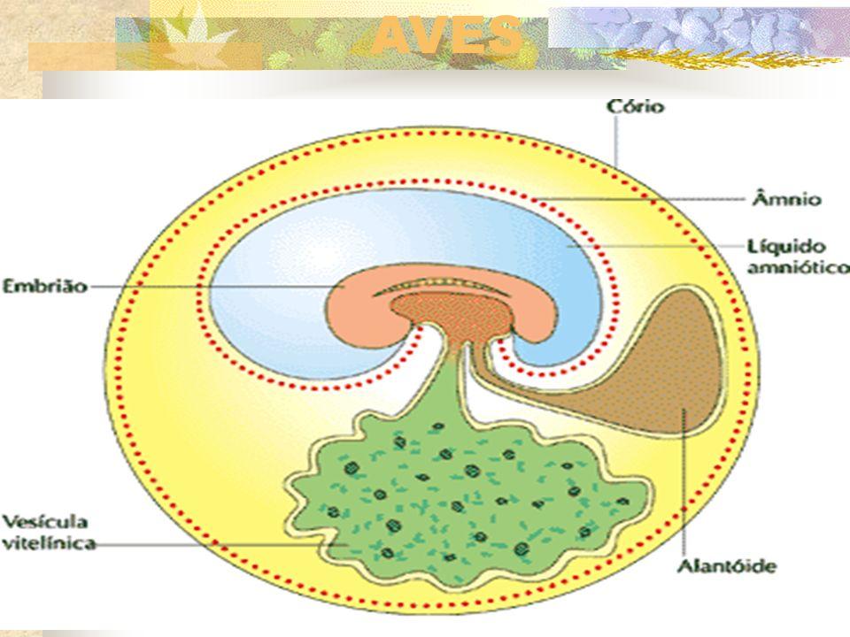 Cordão Umbilical É uma exclusividade dos mamíferos. É o elemento de ligação entre o feto e a placenta materna. Apresenta duas artérias e uma única vei