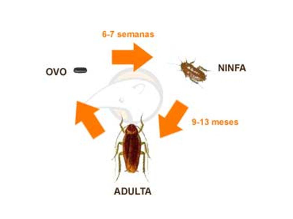 Desenvolvimento ovo Metamorfose incompleta ninfa adulto