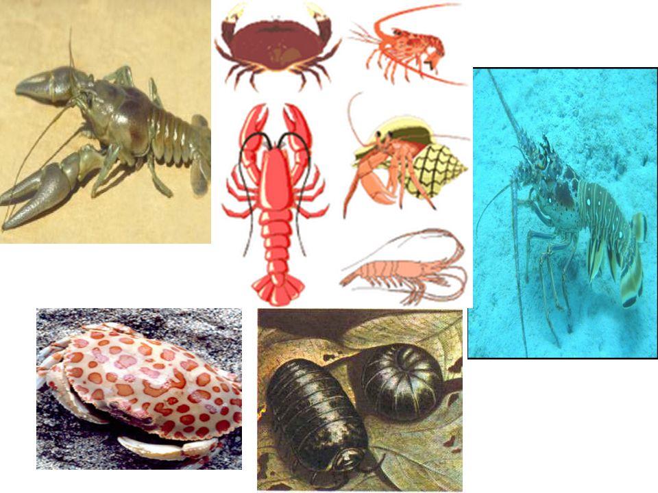 Crustáceos cefalotórax abdome Divisão do corpo