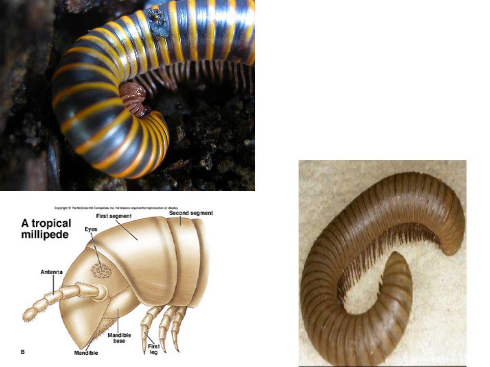 DIPLÓPODES Características gerais: Corpo cilíndrico; Dois pares de patas por segmento; Um par de antenas curtas; Ambientes úmidos; Alimentam-se de vegetais mortos.