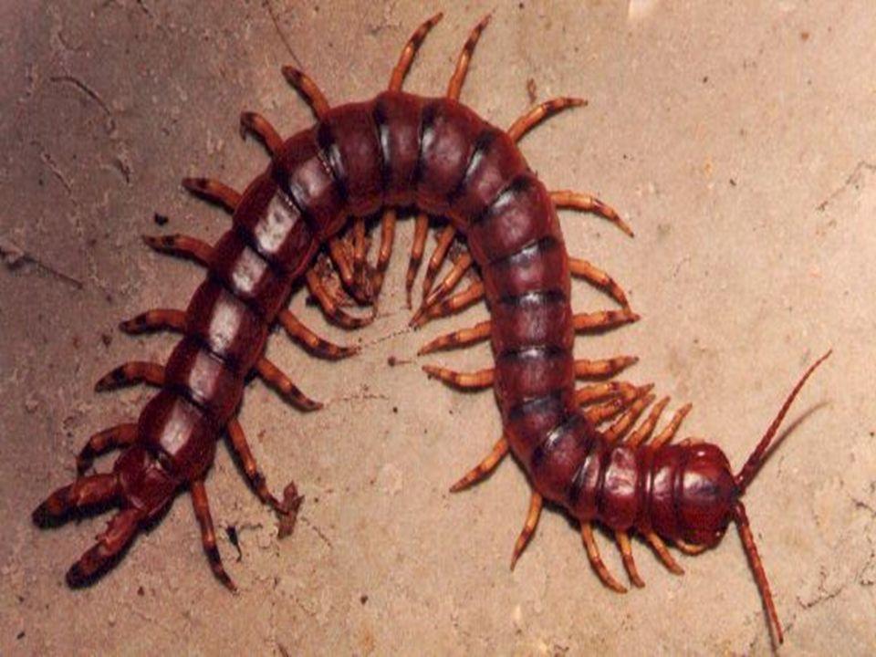 QUIÓPODES Características gerais: Corpo achatado; 1º segmento- garras- veneno; Um par de patas por segmento; Um par de antenas longas; Noturna e carnívoras.