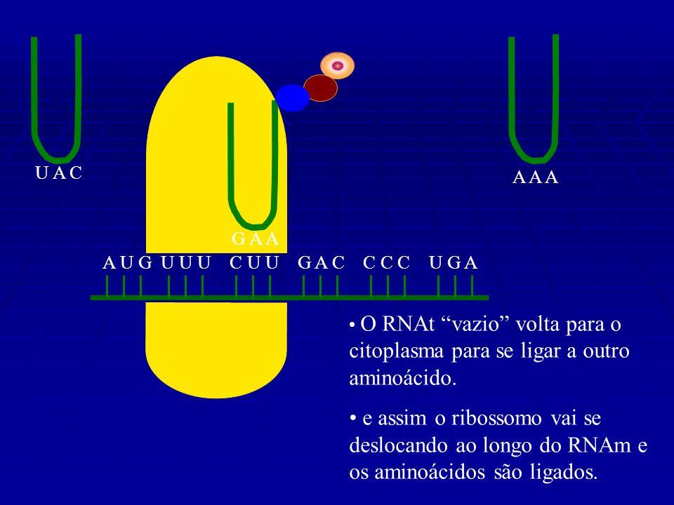 A U G U U U C U U G A C C C C U G A U A C A A A G A A O RNAt vazio volta para o citoplasma para se ligar a outro aminoácido.