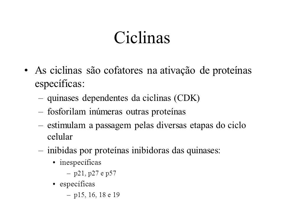 Ciclinas As ciclinas são cofatores na ativação de proteínas específicas: –quinases dependentes da ciclinas (CDK) –fosforilam inúmeras outras proteínas