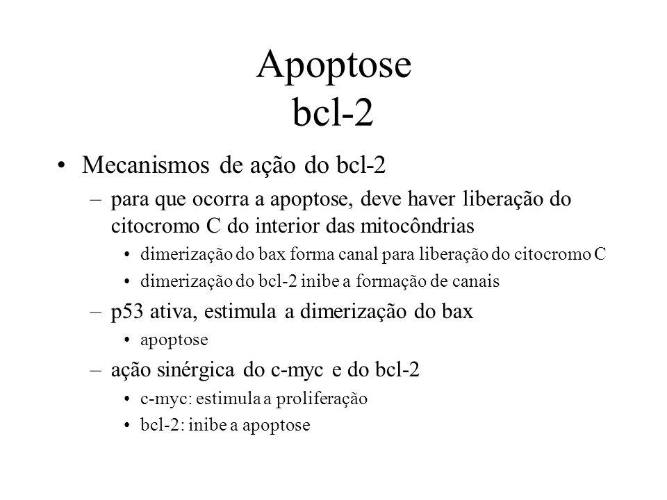 Apoptose bcl-2 Mecanismos de ação do bcl-2 –para que ocorra a apoptose, deve haver liberação do citocromo C do interior das mitocôndrias dimerização d