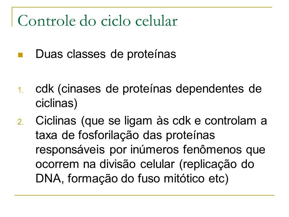 Controle do ciclo celular Duas classes de proteínas 1. cdk (cinases de proteínas dependentes de ciclinas) 2. Ciclinas (que se ligam às cdk e controlam