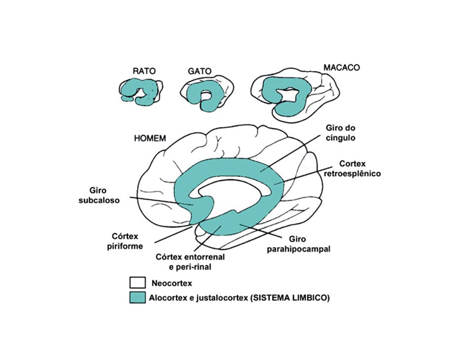 CIRCUITO DE PAPEZ Primeiro modelo sobre o circuito neural das EMOÇÕES Regiões corticais e subcorticais CIRCUITO DE PAPEZ Primeiro modelo sobre o circuito neural das EMOÇÕES Regiões corticais e subcorticais Hipotálamo Giro do Cíngulo HIPOCAMPO Tálamo Anterior Neocórtex Riqueza Emocional Experiência Emocional Expressão visceral da emoção Aferências sensoriais CIRCUITO BÁSICO DAS EMOÇÕES
