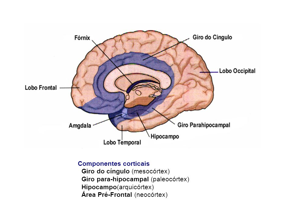 Componentes corticais Giro do cíngulo (mesocórtex) Giro para-hipocampal (paleocórtex) Hipocampo(arquicórtex) Área Pré-Frontal (neocórtex)