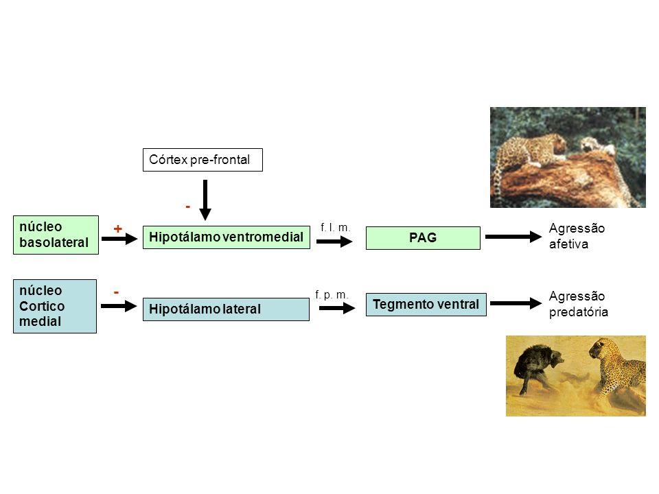 Agressão predatória Agressão afetiva Tegmento ventral f. p. m. Hipotálamo lateral - núcleo Cortico medial PAG f. l. m. Hipotálamo ventromedial + núcle